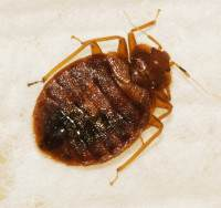 what do bed bugs bites look like